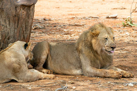 Many young lions resting in the Savannah after hunting 写真素材