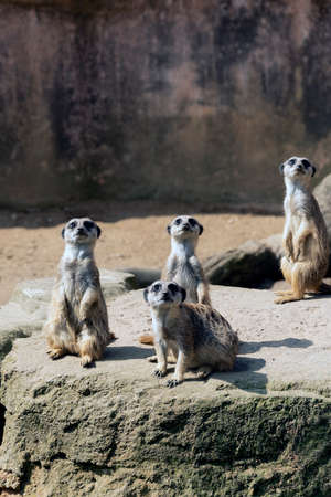 Meerkats or suricate suricatta in their natural environment