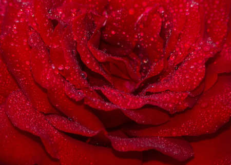 greeting card background: Red rose petals with dew drops.
