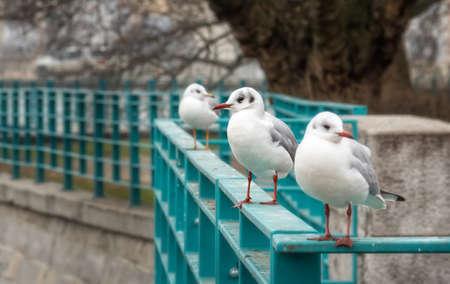 wroclaw: Wroclaw gulls. Stock Photo