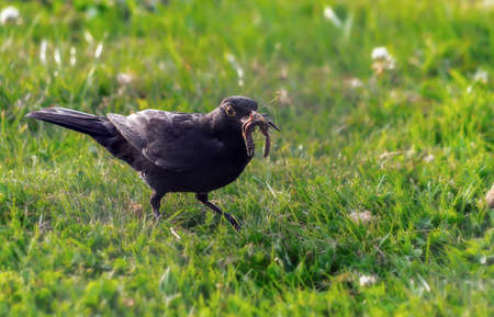 Black bird carrying the worms in a bow on a background of green grass.