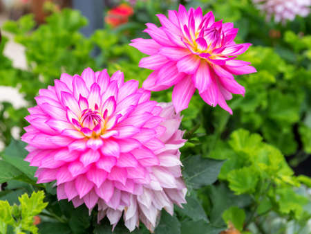 Colorful dahlia blooming in the garden.