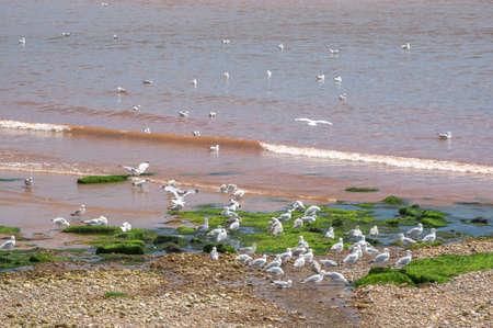 Gulls on a red beach in Sigmouth, Devon, England.