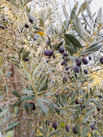 Olive tree with black olives.