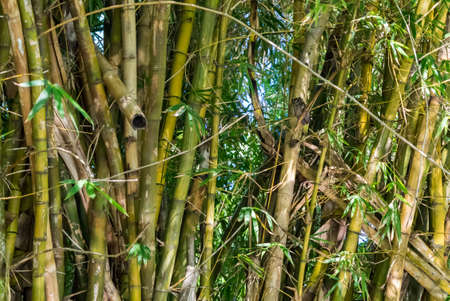 Owl sitting in bamboo over the Dutch channel in Negombo, Sri Lanka.