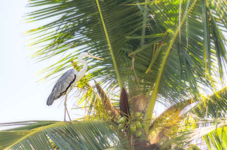 White heron sitting on a palm tree against the blue sky. Stock Photo