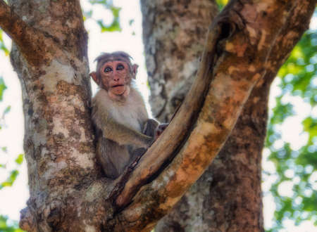 A monkey sitting in a tree near the Lions rock in Sigiriya, Sri Lanka. Stock Photo