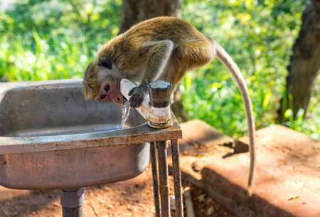 Monkey drinking water from a tap near Lions Rock in Sigiryia, Sri Lanka.