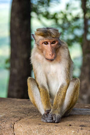 Monkey sitting on a rock near the Lion Rock in Sigiriya, Sri Lanka.