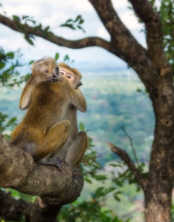 Two monkeys cuddling each other sitting on a tree near Lion Rock in Sigiriya, Sri Lanka.