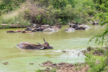 Asian Water Buffalo in a Mud Wallow in Sri Lanka