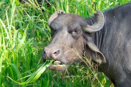 Cow grazing on a meadow, Sri Lanka