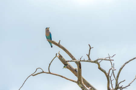 Indian roller sitting on a dry tree against the blue sky.