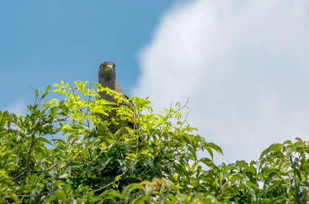 Crested Hawk Eagle perched on a tree against a blue sky.