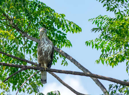 Crested Hawk Eagle perched on a tree against a blue sky. perched on a tree against a blue sky. Sri Lanka, Stock Photo