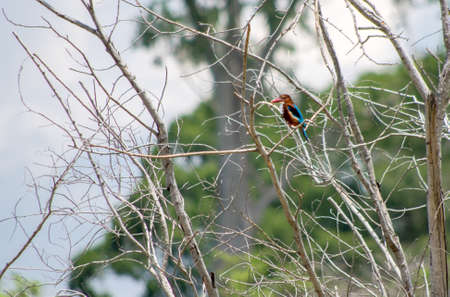 Kingfisher perched on a tree. Sri Lanka.