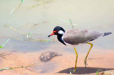 Red-wattled Lapwing walking by the shore of the lake.Sri Lanka. Stock Photo