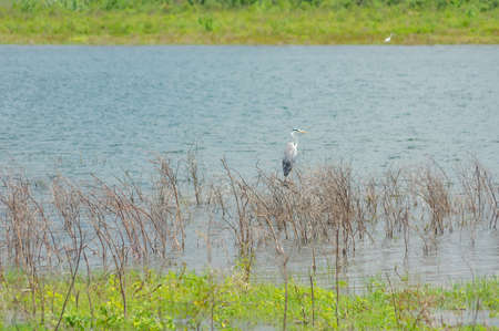 A white heron standing at the edge of a lake. Stock Photo