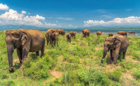 A herd of elephants from the Udawalawe national park strolling by the shore of the lake against a blue sky.