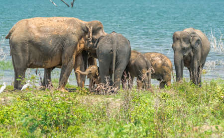 A herd of elephants from the Udawalawe national park strolling by the shore of the lake.