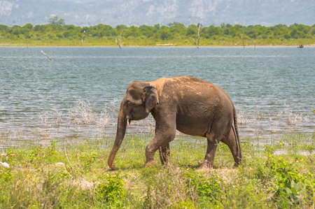Elephant from the Udawalawe national park strolling by the shore of the lake.Sri Lanka.