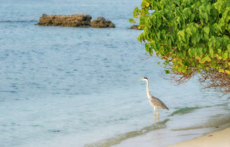 Heron standing by the sea shore somewhere in the Maldives.