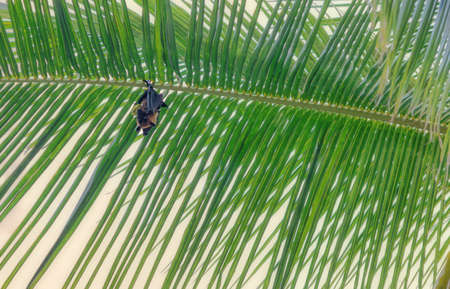 Maldivian bat hanging on a palm tree against a clear blue sky.