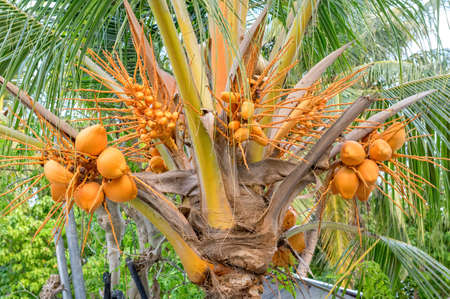 Coconuts blooming on a tree growing on the island of Fulidhoo in the Maldives.