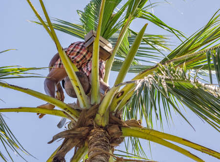 A man collecting juices from young coconuts. Sri Lanka.