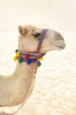 A camel met on the beach in Dubai.