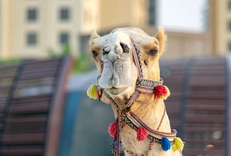 A camel met on the beach in Dubai. 版權商用圖片 - 131735521