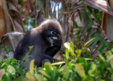 Railay Beach, ThailandSpectacle Monkey/Dusky leaf monkey Stock Photo