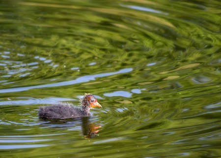 A young duck swimming in a London pond.
