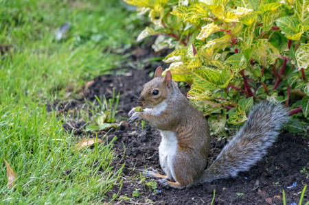 A squirrel photographed in a London park. Stock Photo