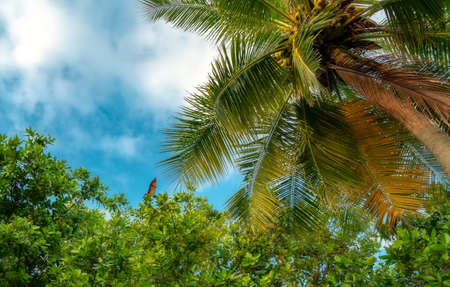 Maldivian bat fly over palm tree against a clear blue sky. Stock Photo