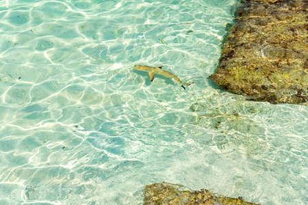 A shark swimming near the resort in Maldives.