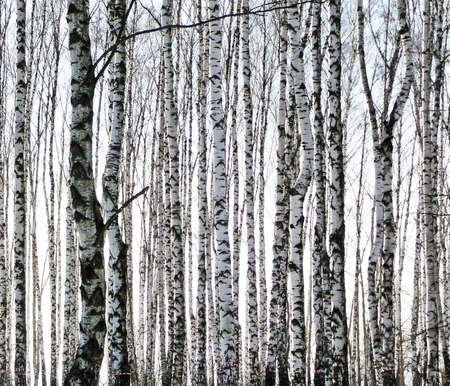 black and white forest: birchs Stock Photo