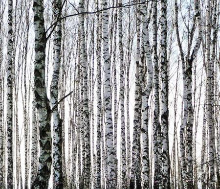 tree landscape: birchs Stock Photo