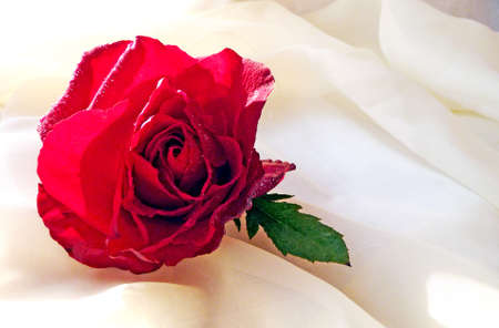 red rose on a white background photo