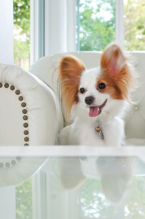 spaniel: Continental Toy Spaniel Papillon Dog