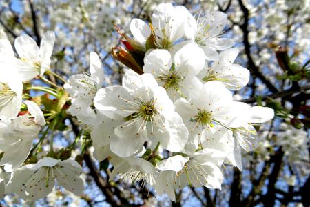 cherrytree: Flowers of cherry tree