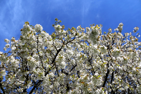 cherrytree: Flowering cherry tree, blue sky Stock Photo