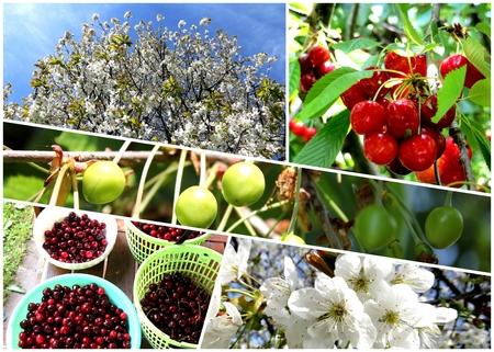 cherrytree: Collage cherry tree, flowering tree, unripe fruits, ripe fruits, harvest