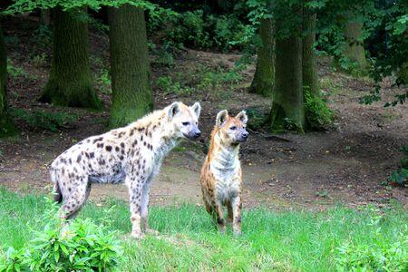 hienas: Dos hienas en el zoológico Foto de archivo