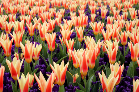 annealed: Tulips and crocus in holland garden, spring flowers