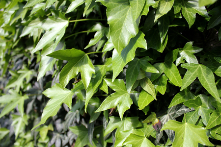 differently: Differently colored green ivy on the wall, light green leaves closeup. Stock Photo
