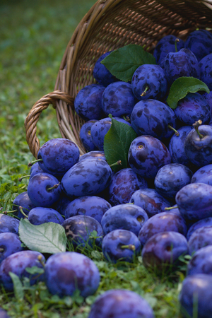 Spilled a wicker basket full of ripe plums in the grass, vertical view