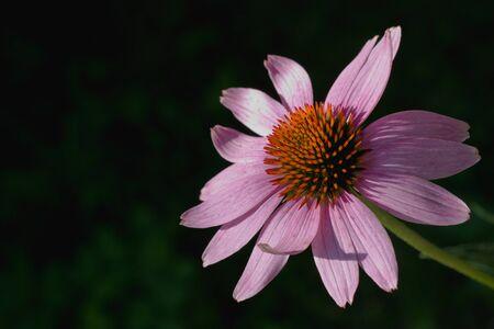 echinacea: Echinacea purpurea in dark background
