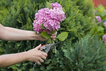 pruning scissors: Woman cut a bouquet of flowers with hydrangeas pruning scissors