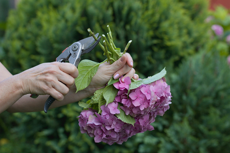 Woman cut a bouquet of flowers with hydrangeas pruning scissors